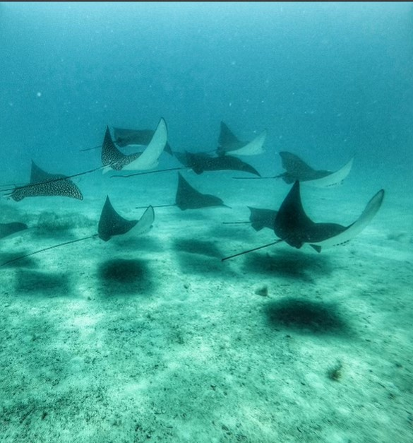 Spotted eagle rays under water